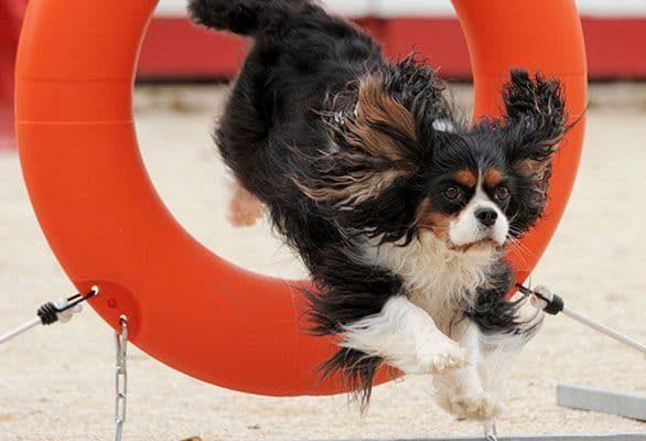 École de dressage pour chien à Laval | Cours d'agilité | Centre canin Astuces Canines