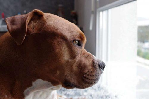 chien regardant dehors par la fenêtre