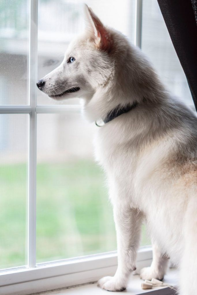 Chien blanc qui regarde par la fenêtre